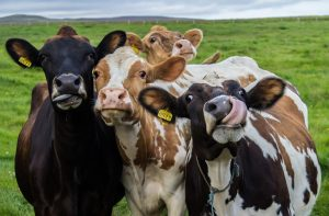 Four,Funny,Cows,Looking,At,The,Camera
